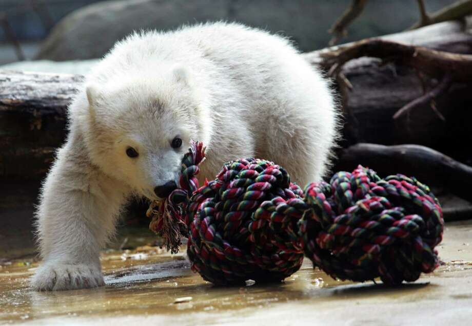 Baby polar bear Anori plays with a knotted rope in her enclosure at the zoo in Wuppertal, western Germany, on April 23, 2012. Anori was born on January 4, 2012 at the zoo and is a half-sister of world famous polar bear Knut, who died in 2011.    AFP PHOTO / DANIEL NAUPOLD    GERMANY OUT Photo: DANIEL NAUPOLD, AFP/Getty Images / DPA