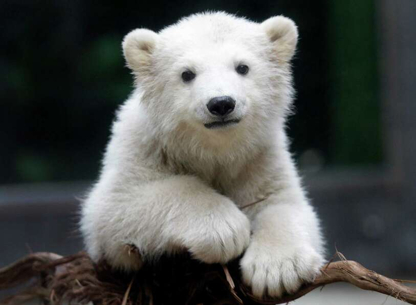 Polar bear cub Anori explores the outdoor enclosure at the zoo in Wuppertal, Germany, on Monday, Apr