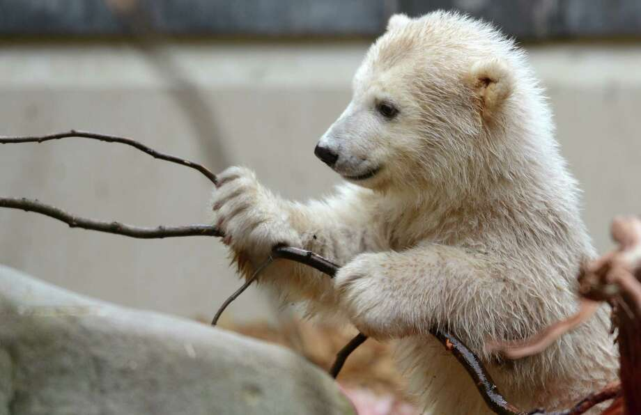 Baby polar bear Anori plays with a branch as she explores her enclosure at the zoo in Wuppertal, western Germany, on April 19, 2012. Anori was born on January 4, 2012. Anori has the same father as world famous polar bear Knut, who died in 2011. AFP PHOTO / PATRIK STOLLARZ Photo: PATRIK STOLLARZ, AFP/Getty Images / AFP