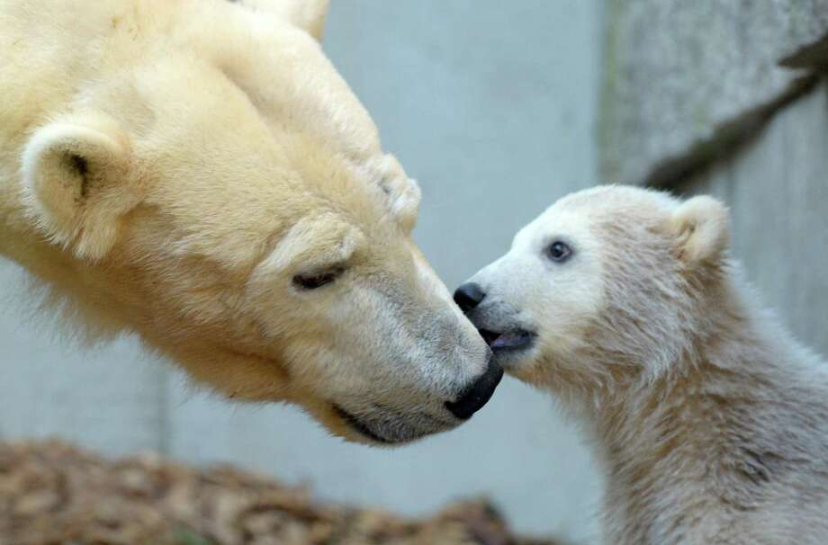 Polar bear Anori plays on April 25, 2012 at the zoo in Wuppertal, western Germany, with her mother Vilma (L). Anori was born January 4, 2012 at the zoo in Wuppertal and is a half-sister of world famous polar bear Knut, who died in 2011.    AFP PHOTO / FEDERICO GAMBARINI  GERMANY OUT Photo: FEDERICO GAMBARINI, AFP/Getty Images / DPA