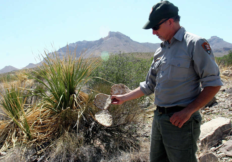 Botanist Joe Sirotnak holds a withered piece of prickly pear killed by freezing temperatures. It's next to a sotol plant killed by drought. Photo: JOHN MacCORMACK, San Antonio Express-News / San Antonio Express-News