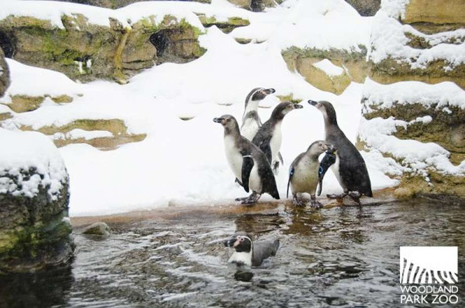 Penguins don't seem to mind the snow -- go figure. (Ryan Hawk / ©Ryan Hawk 2011)