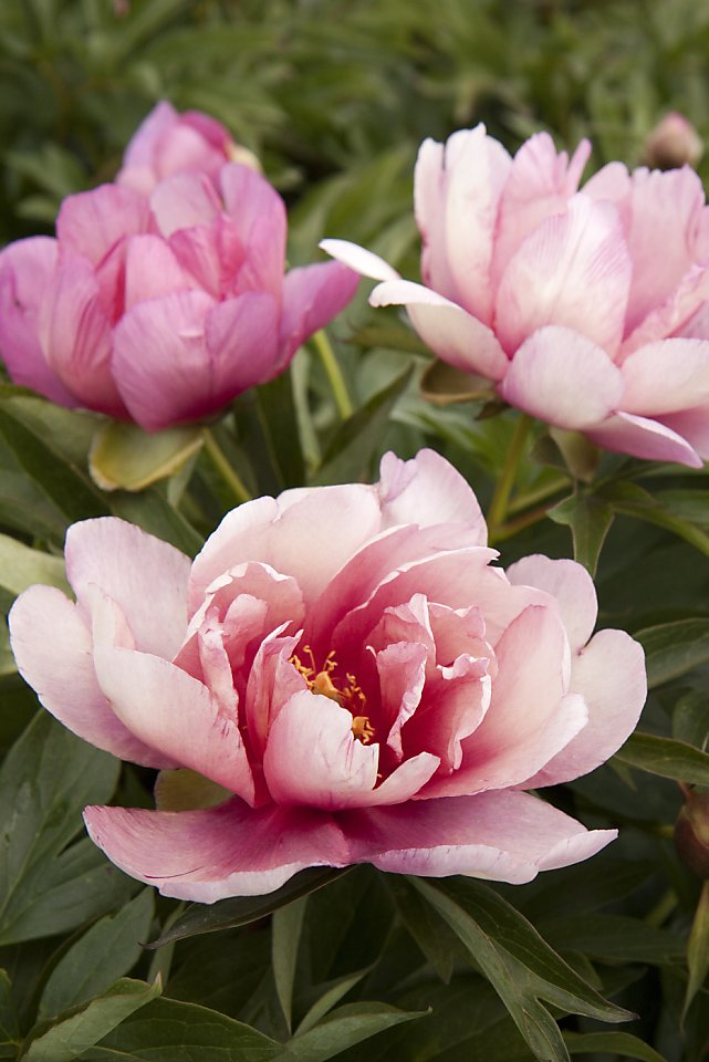 itoh peony a cross of herbaceous and tree types