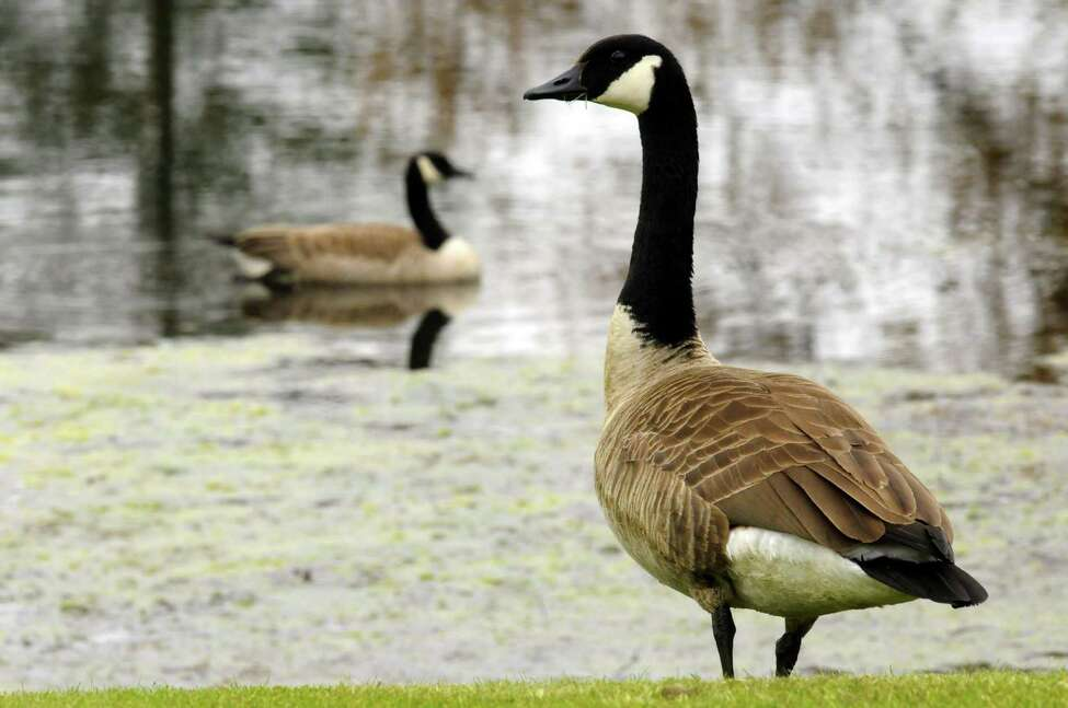 Geese at the William K. Sanford Town Library in Colonie N.Y. Thursday April 26, 2012. (Michael P. Farrell/Times Union)