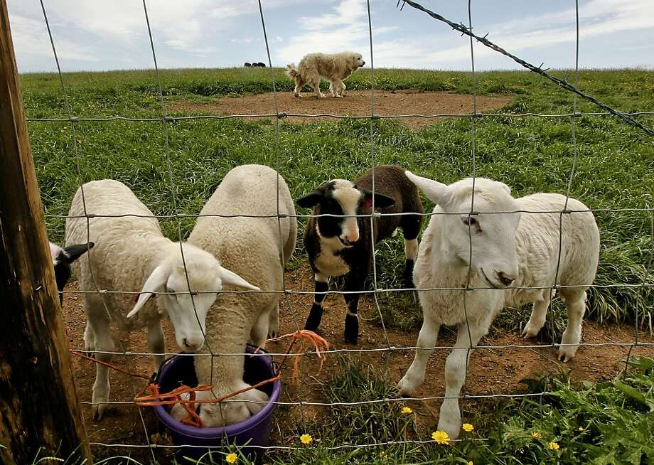 Big Otis, a Great Pyrenees dog, (top) watches over his sheep at the Barinaga Ranch in Marshall, Ca. on Wednesday April 25, 2012. The multiplying coyote population became a big problem a few years ago in western Marin county, where they were killing sheep and calves, then ranchers began buying sheperd dogs, including Great Pyrenees and Anatolians. The dogs seem to have completely controlled the problem. Photo: Michael Macor, The Chronicle