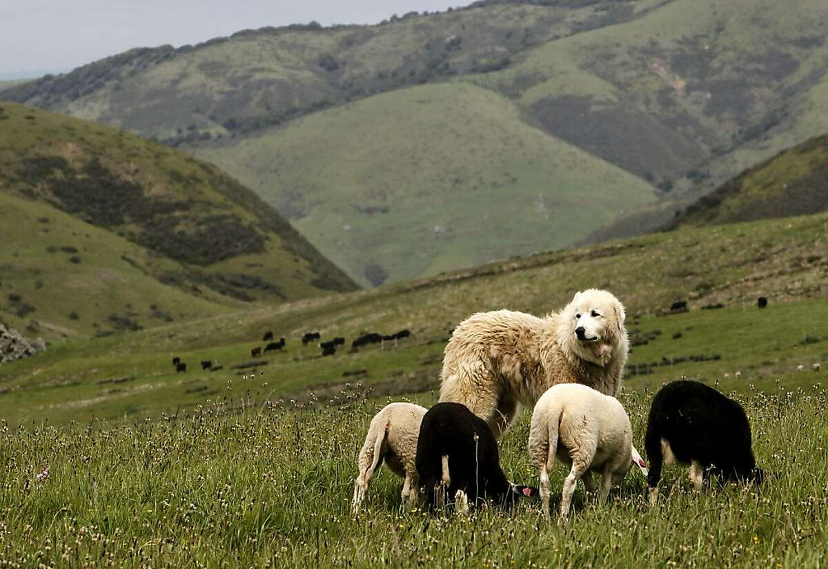 Oso, a Great Pyrenees, keeps a close watch on his sheep at the Barinaga Ranch in Marshall, Ca. on Wednesday April 25, 2012. The multiplying coyote population became a big problem a few years ago in western Marin county, where they were killing sheep and calves, then ranchers began buying sheperd dogs, including Great Pyrenees and Anatolians. The dogs seem to have completely controlled the problem.