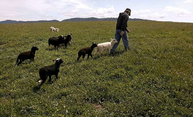 Marcia Barinaga tends to her sheep at her ranch in Marshall, Ca. on Wednesday April 25, 2012. The multiplying coyote population became a big problem a few years ago in western Marin county, where they were killing sheep and calves, then ranchers began buying shepherd dogs, including Great Pyrenees and Anatolians. The dogs seem to have completely controlled the problem. Photo: Michael Macor, The Chronicle