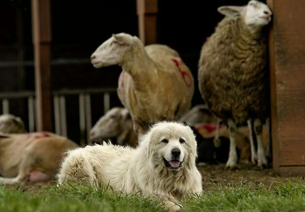 Shep, a Great Pyrenees dog, protects his sheep at the Barinaga Ranch in Marshall, Ca. on Wednesday April 25, 2012. The multiplying coyote population became a big problem a few years ago in western Marin county, where they were killing sheep and calves, then ranchers began buying sheperd dogs, including Great Pyrenees and Anatolians.The dogs seem to have completely controlled the problem. Photo: Michael Macor, The Chronicle