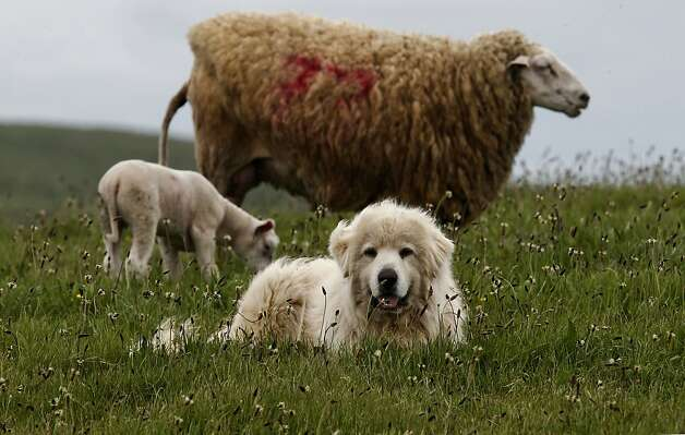Shep, a Great Pyrenees, protects his sheep at the Barinaga Ranch in Marshall, Ca. on Wednesday April 25, 2012. The multiplying coyote population became a big problem a few years ago in western Marin county, where they were killing sheep and calves, then ranchers began buying sheperd dogs, including Great Pyrenees and Anatolians.The dogs seem to have completely controlled the problem. Photo: Michael Macor, The Chronicle