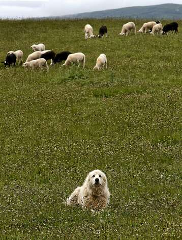 Big Otis, a Great Pyrenees dog, protects his sheep at the Barinaga Ranch in Marshall, Ca. on Wednesday April 25, 2012. The multiplying coyote population became a big problem a few years ago in western Marin county, where they were killing sheep and calves, then ranchers began buying sheperd dogs, including Great Pyrenees and Anatolians.The dogs seem to have completely controlled the problem. Photo: Michael Macor, The Chronicle