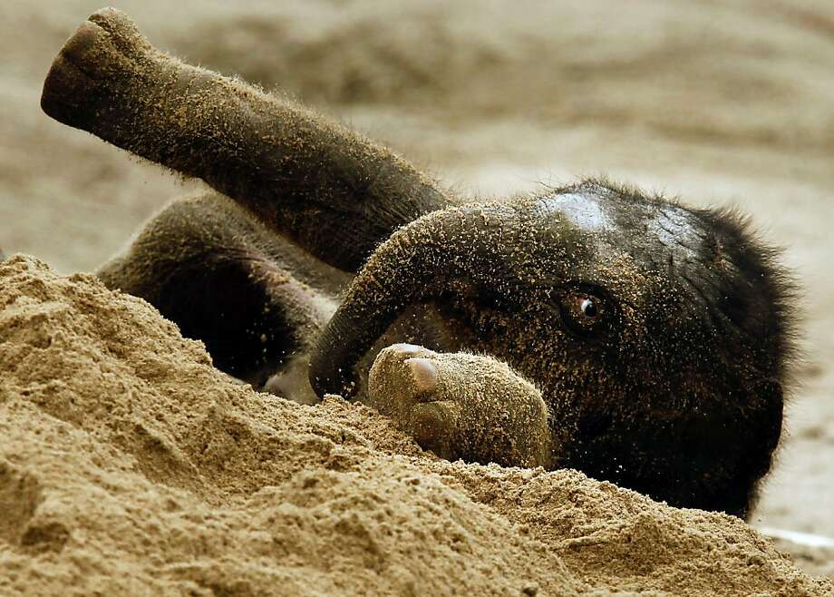 The few weeks old Asian elephant bull (Elephas maximus) Assam plays in the sand during the first appearance in the outdoor enclosure at the Hagenbeck zoo in Hamburg, northern Germany, Friday, April 27, 2012. (AP Photo/dapd, Philipp Guelland) Photo: Philipp Guelland, Associated Press