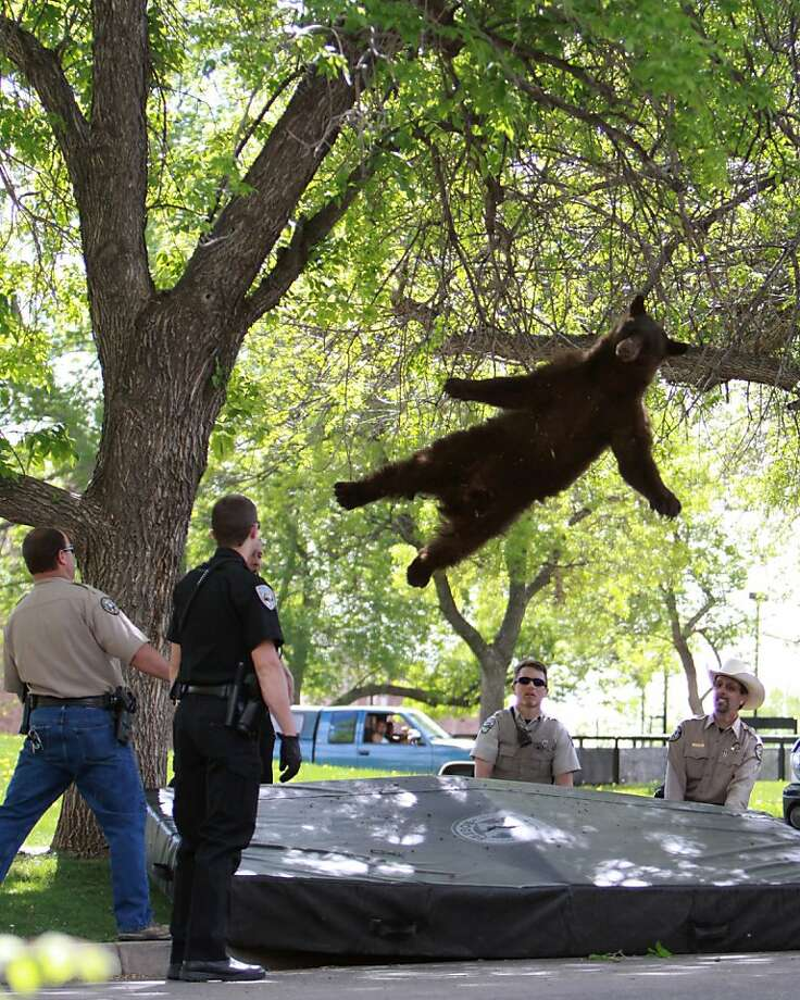 Big bear bounce:A black bear tumbles onto an air mattress after being tranquilized by Colorado wildlife officials on the University of Colorado - Boulder campus. The bruin, between 1 and 3 years old, had wandered into the Williams Valley dormitory complex before climbing the tree. It was not hurt. Photo: Andy Duann, Associated Press