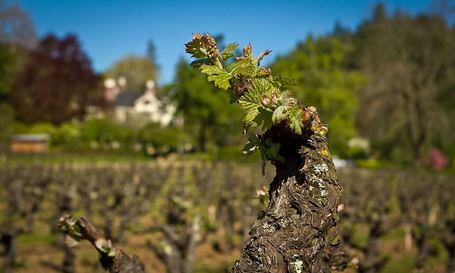 Inglenook's Pritchett Hill block of Zinfandel. Photo: John Storey, Special To The Chronicle