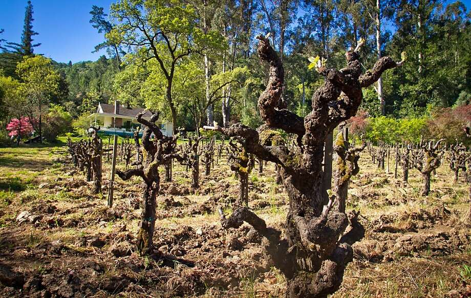 Old vines, like these in the Cow Barn block at Inglenook Winery in Rutherford, can offer a more complex expression of wine. Photo: John Storey, Special To The Chronicle