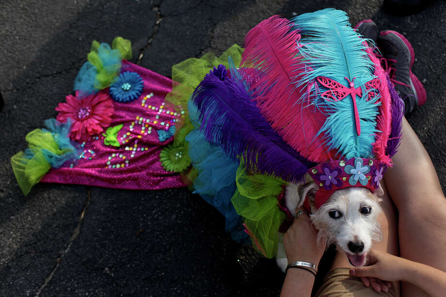 Sunday rests with owner Hilary DeBow after competing in the Canine Costume Contest before the Fiesta Pooch Parade in Alamo Heights on Saturday, April 28, 2012. Photo: Lisa Krantz, SAN ANTONIO EXPRESS-NEWS / SAN ANTONIO EXPRESS-NEWS