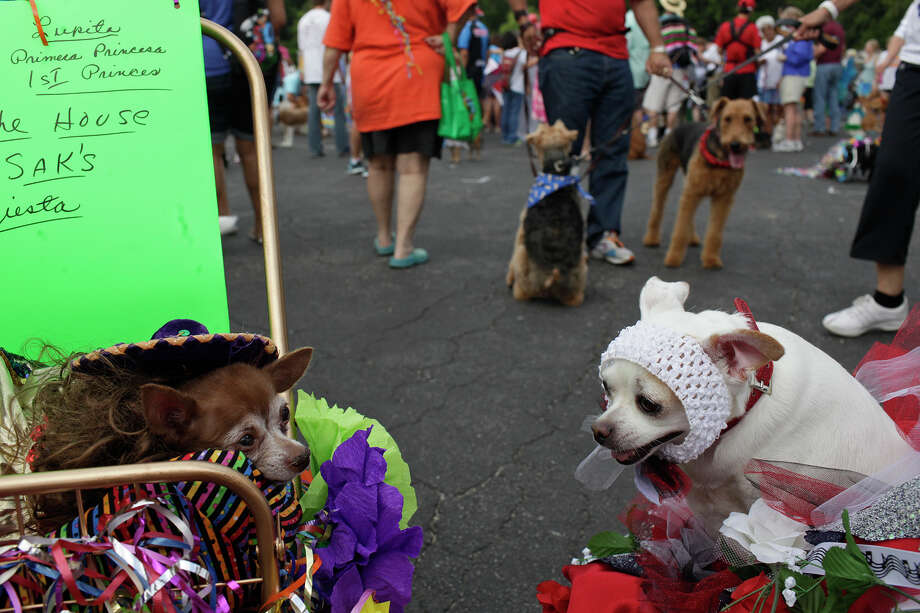 Lolita, left, owned by Linda Fonseca, waits next to Elizabeth Taylor, right, owned by Cynthia Fadness, after they competed in the Canine Costume Contest before the Fiesta Pooch Parade in Alamo Heights on Saturday, April 28, 2012. Photo: Lisa Krantz, SAN ANTONIO EXPRESS-NEWS / SAN ANTONIO EXPRESS-NEWS