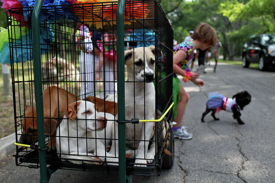 Shepherd mix puppies who are in the care of the Helotes Humane Society and available for adoption ride in the Fiesta Pooch Parade in Alamo Heights on Saturday, April 28, 2012. Photo: Lisa Krantz, SAN ANTONIO EXPRESS-NEWS / SAN ANTONIO EXPRESS-NEWS