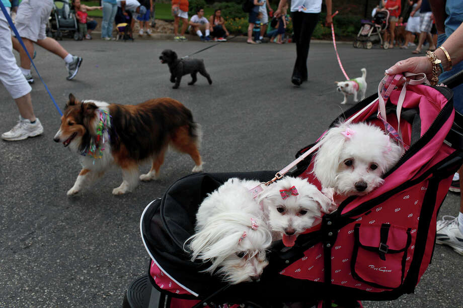 Dolly, from left, Lucy and Brittany, with owner Suzanne Straw, not pictured, wait to enter the parade route as other dogs pass during the Fiesta Pooch Parade in Alamo Heights on Saturday, April 28, 2012. Photo: Lisa Krantz, SAN ANTONIO EXPRESS-NEWS / SAN ANTONIO EXPRESS-NEWS