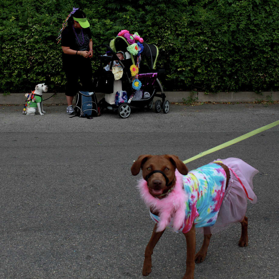 Zoey, right, with owner Lovelesh Manocha, not pictured, walks past Mandi Swisher, standing with her five-month-old, Calen Swisher, and dog, Samson, during the Fiesta Pooch Parade in Alamo Heights on Saturday, April 28, 2012. Photo: Lisa Krantz, SAN ANTONIO EXPRESS-NEWS / SAN ANTONIO EXPRESS-NEWS