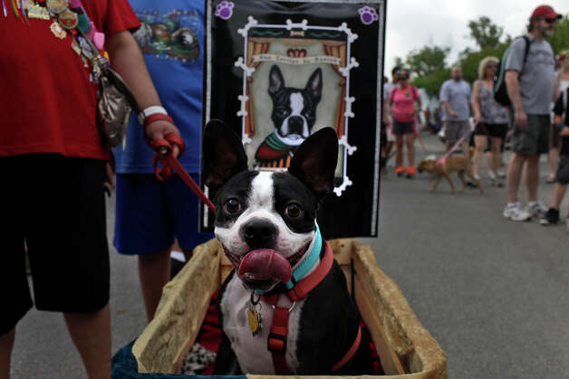"Memphis, as the ""Patron Saint of Tenacity,"" waits for the Fiesta Pooch Parade to begin after competing in the Canine Costume Contest in Alamo Heights on Saturday, April 28, 2012. Photo: Lisa Krantz, SAN ANTONIO EXPRESS-NEWS / SAN ANTONIO EXPRESS-NEWS"