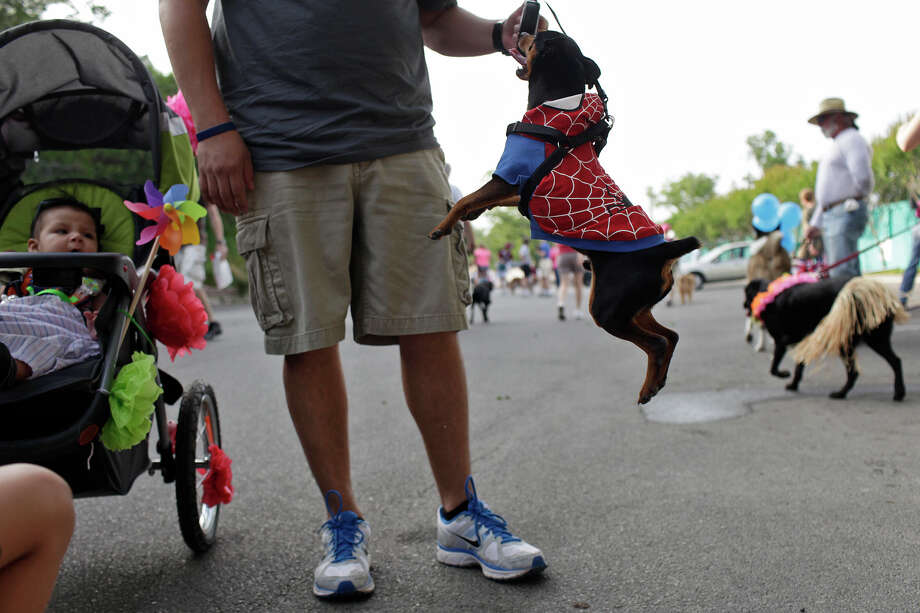 Rambo jumps up with his owner, Gilbert Perez, Jr., while Perez's son, Eli Ysidro Perez, 4 months, looks on as they wait for the start of the Fiesta Pooch Parade in Alamo Heights on Saturday, April 28, 2012. Photo: Lisa Krantz, SAN ANTONIO EXPRESS-NEWS / SAN ANTONIO EXPRESS-NEWS