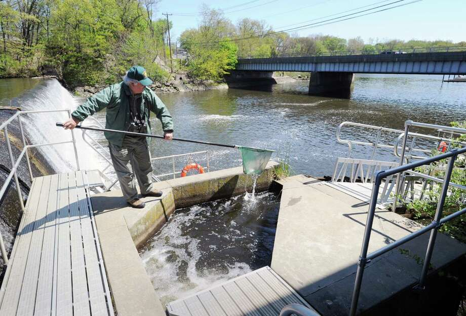 Michael Aurelia checks for alewives, a river herring, at the fishway adjacent to the Mianus River dam, Friday, April 27, 2012. Aurelia, a volunteer at the fishway, said more than 50,000 alewives passed through the fishway in a 24-hour period Monday. Photo: Bob Luckey / Greenwich Time
