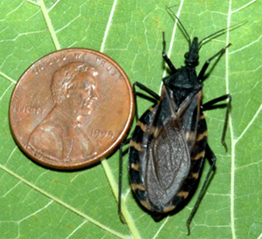 A triatoma gerstaeckeri next to a penny for scale. Photo courtesy S. Kjos. Photo: Contributed Photo