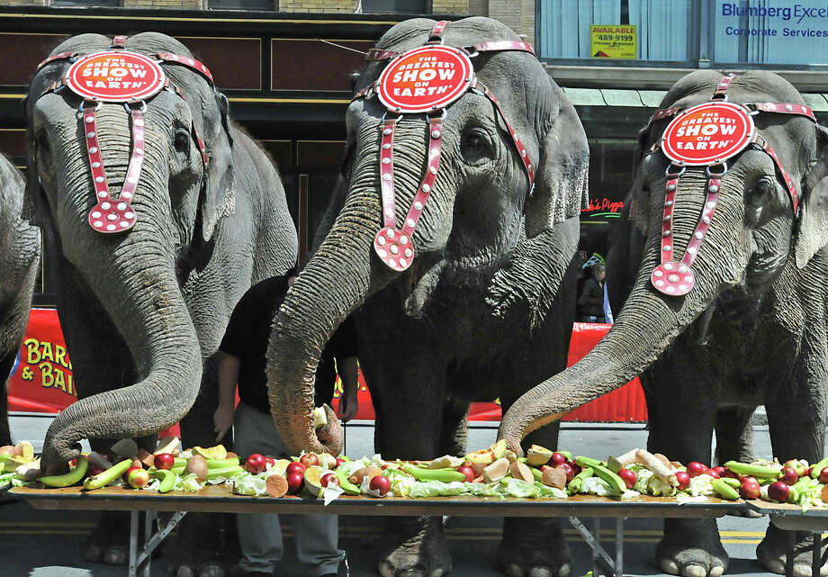 Elephants from the Ringling Brothers and Barnum & Bailey circus eat veggies in front of the Times Union Center in Albany, NY on May 7, 2010. (Lori Van Buren / Times Union archive) Photo: LORI VAN BUREN / 00008640A