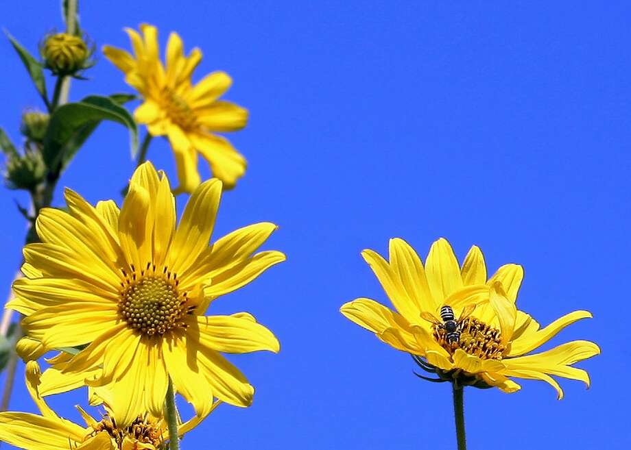 For a special experience, plant a patch of Maximilian sunflower seeds in full sun where you can observe them. They grow from 7 to 8 feet in height. Photo: Express-News File Photo