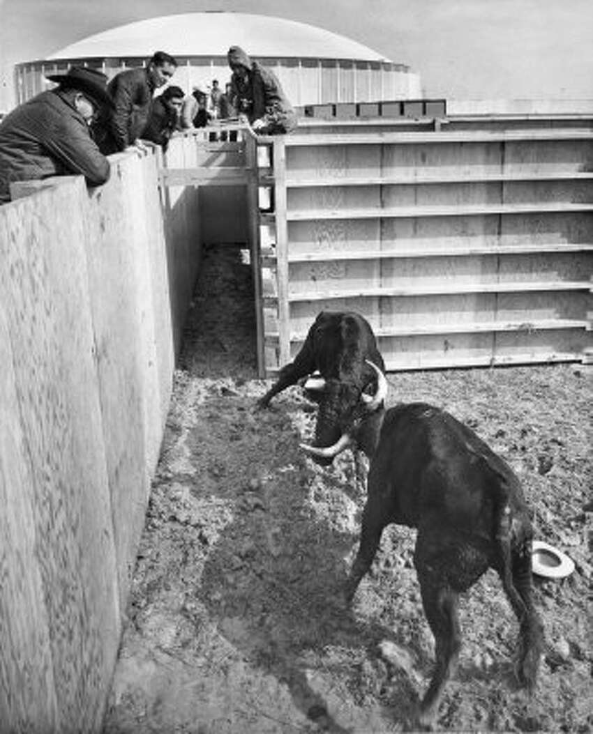 Some of the bulls were used in the bloodless bullfights outside the Astrodome, Jan. 26, 1966. (Larry Evans / Chronicle file)