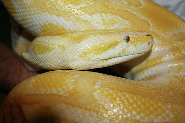 A 16-foot Burmese python named Banana, pictured, is said by the Jefferson County Sheriff's Office to have been stolen from Gator Country between April 22 and April 24. The albino snake has been a popular attraction with the local reptile business and has been photographed with thousands of children. Photo provided by Jefferson County Sheriff's Office