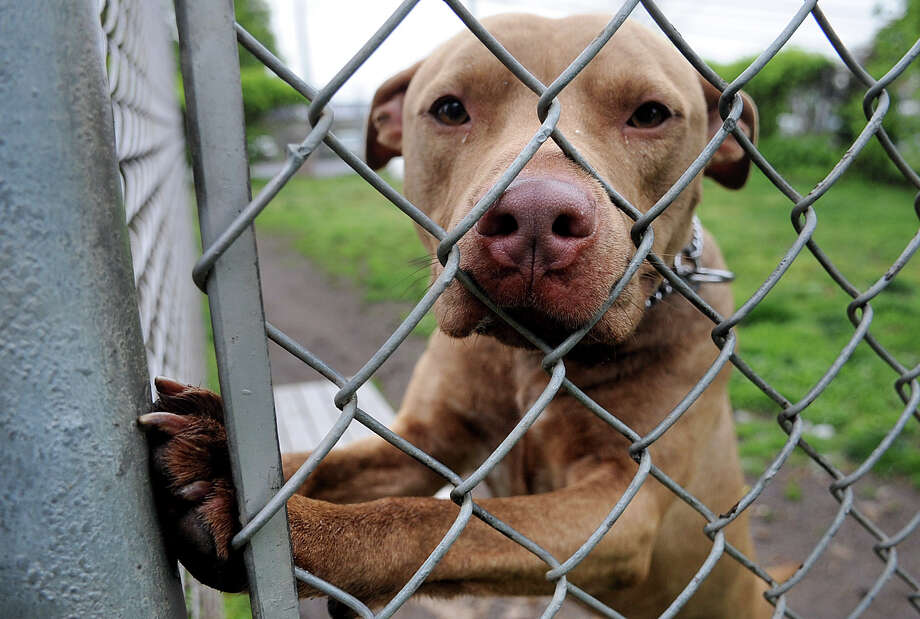 """""""Gucci"""" peers through a fence as he gets some time outside at the Stamford animal shelter on Tuesday, May 1, 2012. Photo: Lindsay Niegelberg / Stamford Advocate"""