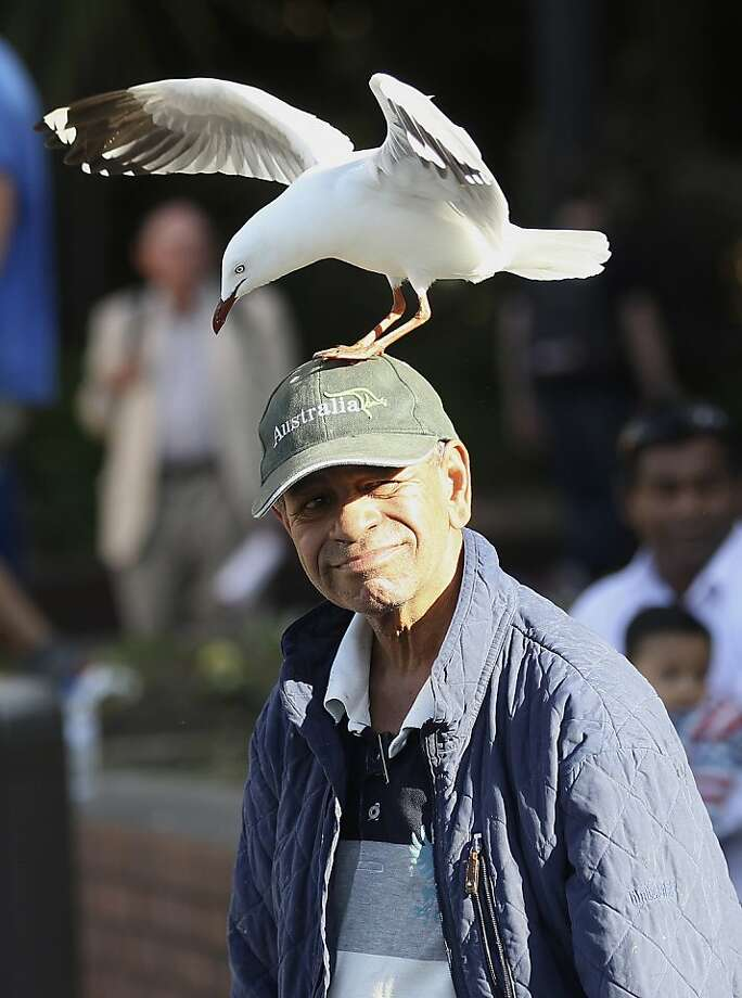No, I DO NOT have a herring under my hat:A seagull at Circular Quay in Sydney begs to differ. Photo: Rob Griffith, Associated Press