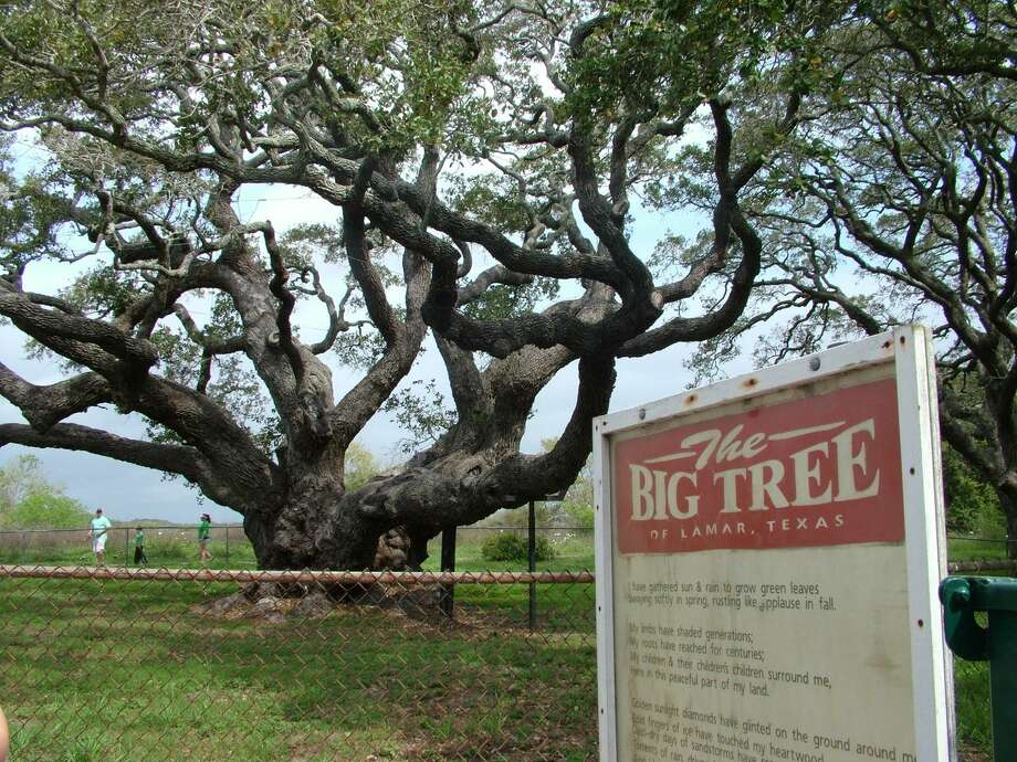 "The ""Big Tree"" near Goose Island State Park is believed to be more than 1,000 years old and has survived drought, disease, fire, hurricanes and Yankee bombardments. Photo: Pam Howell, For The Express-News"