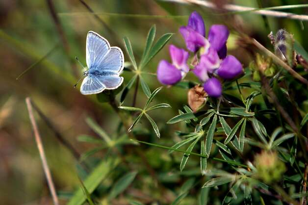 An endangered Mission Blue Butterfly rests in the sun at San Bruno State Park in San Mateo County on Tuesday. San Francisco Parks and Recreation, along with San Mateo County Parks and Creekside Science Center for Earth Observation scaled San Bruno Mountain on Tuesday to collect the endangered Mission Blue Butterfly to release them at Twin Peaks in San Francisco. Photo: Kevin Johnson, The Chronicle