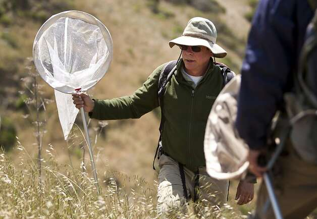 Stu Weiss follows Lech Naumovich as they look for Mission Blue Butterflies at San Bruno State Park on Tuesday. San Francisco Parks and Recreation, along with San Mateo County Parks and Creekside Science Center for Earth Observation scaled San Bruno Mountain on Tuesday to collect the endangered Mission Blue Butterfly to release them at Twin Peaks in San Francisco. Photo: Kevin Johnson, The Chronicle