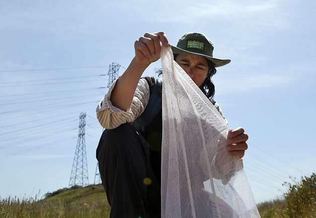 Lisa Wayne examines an endangered Mission Blue Butterfly in her net  at San Bruno Mountain State Park on Tuesday. San Francisco Parks and Recreation, along with San Mateo County Parks and Creekside Science Center for Earth Observation scaled San Bruno Mountain on Tuesday to collect the endangered Mission Blue Butterfly to release them at Twin Peaks in San Francisco. Photo: Kevin Johnson, The Chronicle