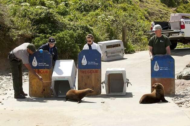 U.S. Park Ranger John Eleby, left, and The Marine Mammal Center volunteer Stan Jensen release Al catraz, and PupTart, two sea lion pup snear the edge of the Pacific Ocean. Al Catraz and PupTart were released by The Marine Mammal Center at Historic Lifeboat Station on Pt. Reyes, Calif., on Tuesday May 1, 2012. Photo: Charlie Gesell, Special To The Chronicle