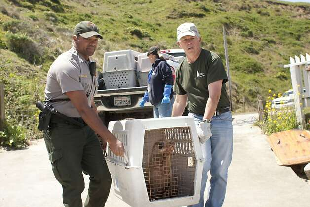 U.S. Park Ranger John Eleby, left, and The Marine Mammal Center volunteer Stan Jensen haul Al catraz, a sea lion pup near the edge of the Pacific Ocean before releasing the animal. Al Catraz along with another sea lion pup were released by The Marine Mammal Center at Historic Lifeboat Station on Pt. Reyes, Calif., on Tuesday May 1, 2012. Photo: Charlie Gesell, Special To The Chronicle
