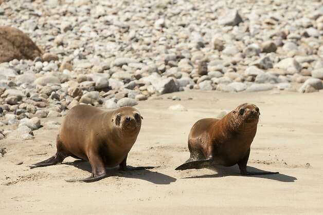 Al catraz, left, and Puptart, two sea lion pups make a dash for the Pacific Ocean after being released by The Marine Mammal Center. Al Catraz and PupTart were released by The Marine Mammal Center at Historic Lifeboat Station on Pt. Reyes, Calif., on Tuesday May 1, 2012. Photo: Charlie Gesell, Special To The Chronicle