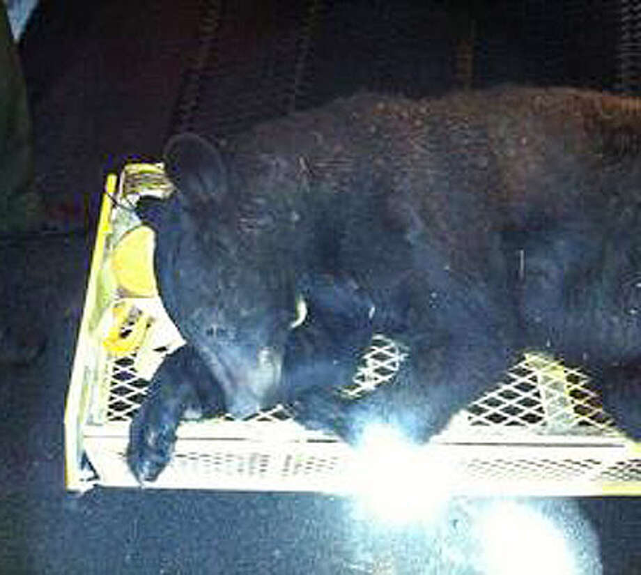 A 175-pound, two-year-old male bear was tranquilized in the city of Albany by DEC Environmental Conservation Officers on Tuesday, May 1, 2012. The bear fell approximately 50 feet out of a tree in the vicinity of South Pearl Street  and Interstate 787.    (New York State Department of Environmental Conservation)