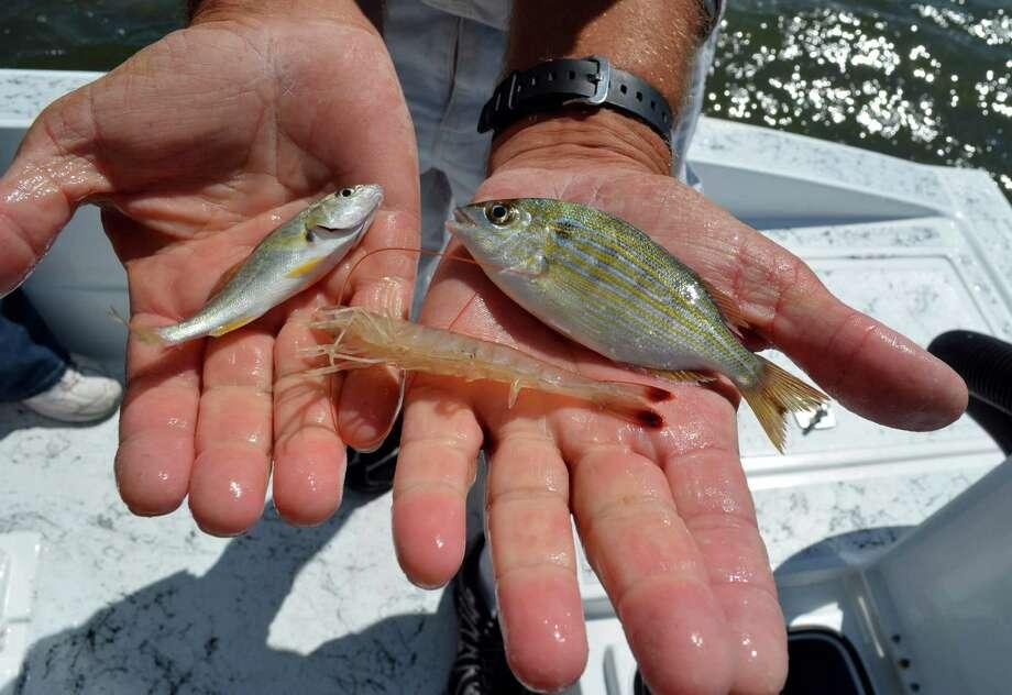 Winning the live-bait battle - San Antonio Express-NewsSaltwater Sheepshead Bait
