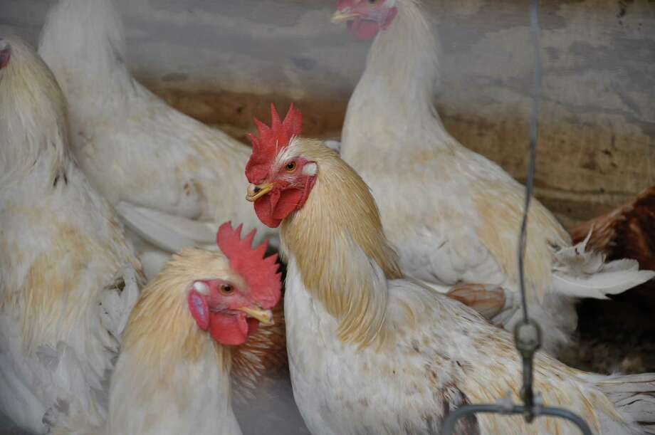 Authorities in Mexico are trying to contain a bird flu outbreak among chickens like these shown in this Houston Chronicle file photo. Photo: Amber Ambrose