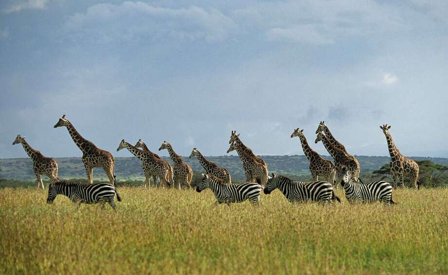Once-in-a-lifetime safari - Houston Chronicle