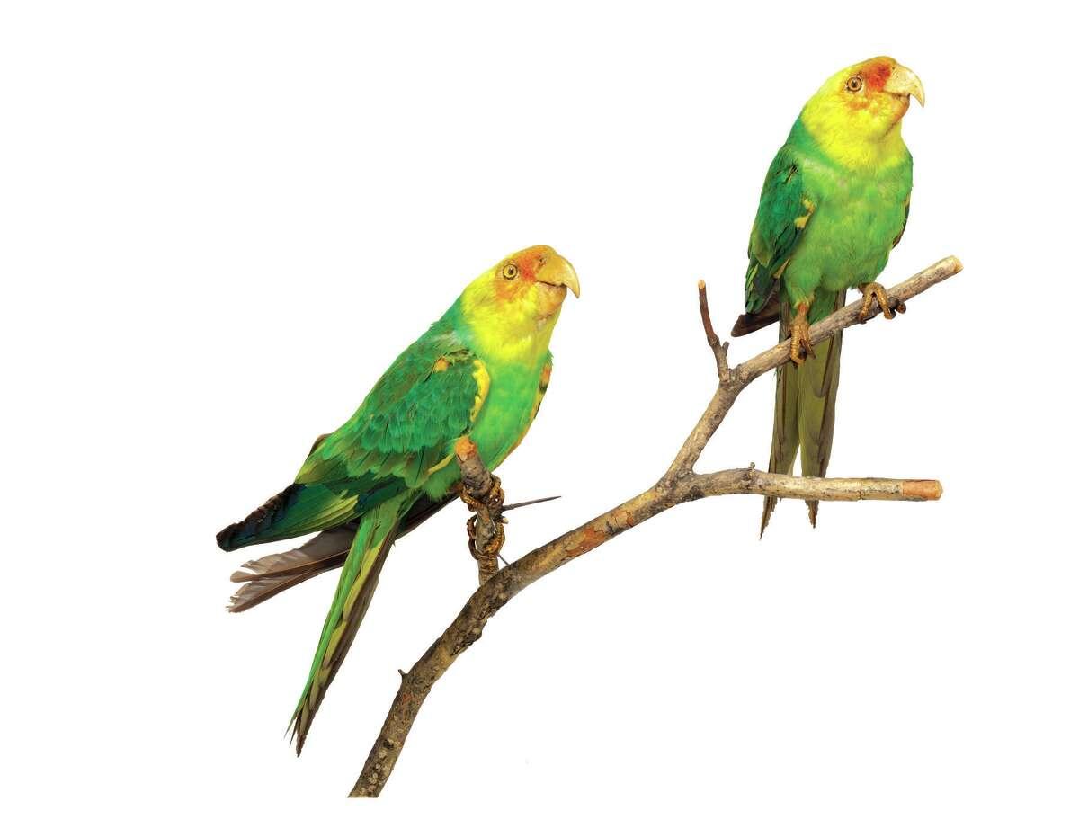 The extinct Carolina Parakeet (New York State Museum)