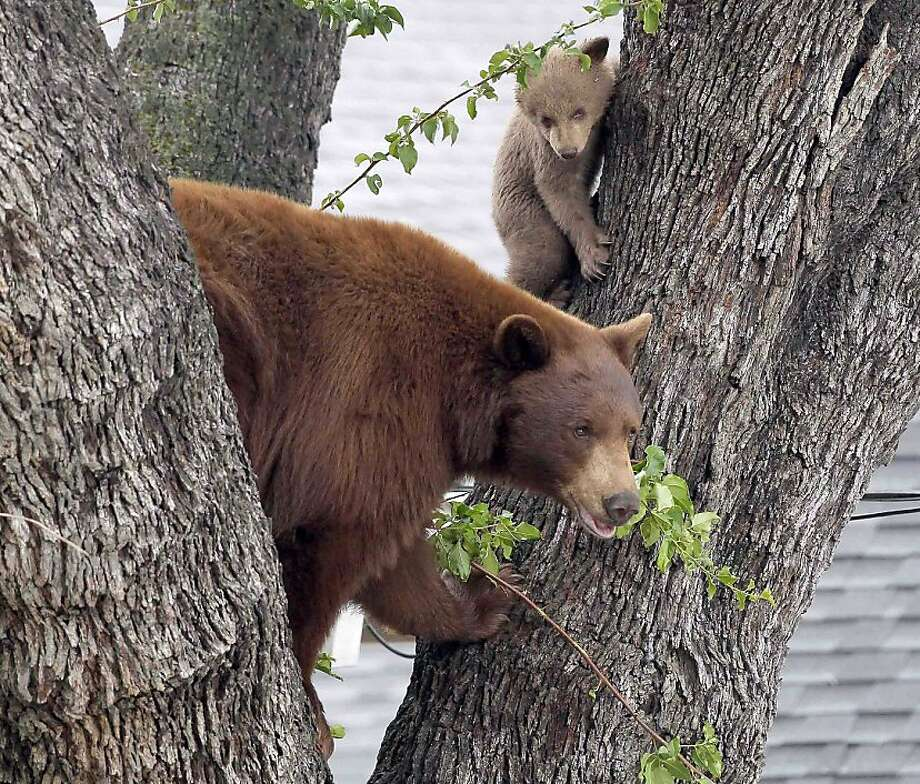 A mother bear and two cubs peer from a tree Thursday May 3, 2012, in Altadena, Calif. Authorities say noise from TV helicopters may have spooked the bears into staying in the tree. Authorities are waiting the bears out and hope they will return to the nearby Angeles National Forest on their own during the evening.(AP Photo/Nick Ut) Photo: Nick Ut, Associated Press