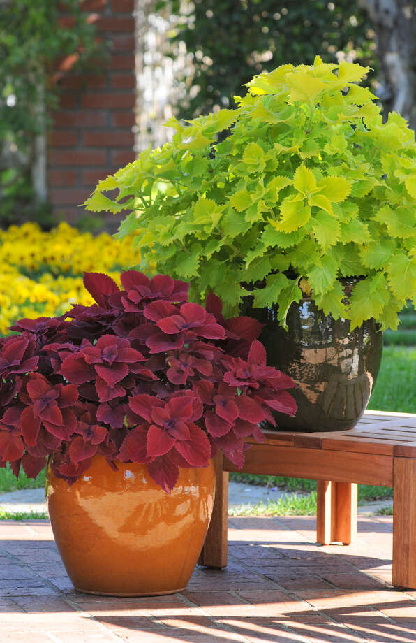 'Redhead' and 'Wasabi' coleus thrive in summer in sun or shade. Photo: VIVA!