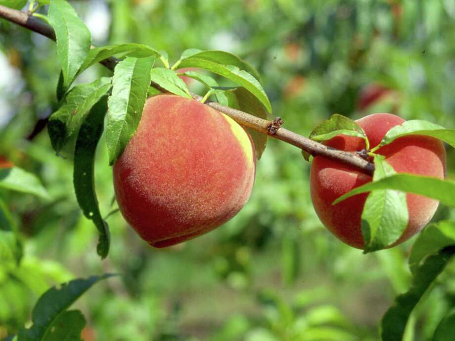 To help fruit trees, such as peaches, to mature, water deeply once a week.