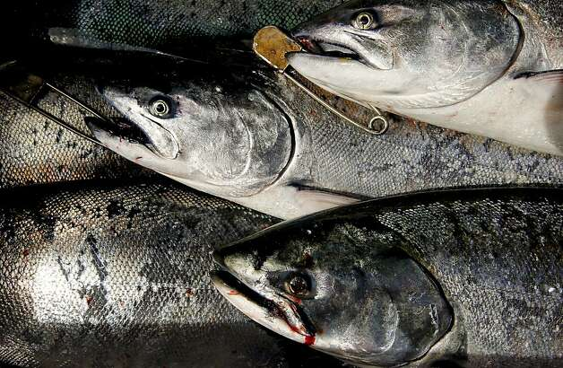 "A limit of 34 Chinook (king) salmon were caught by fisherman, as the sport fishing boat, ""Hog Heaven"" out of Sausalito with a full load of anglers aboard, fished for salmon along the Pacific Ocean off the coast of  San Francisco, Ca., on Saturday April 21, 2012. Photo: Michael Macor, The Chronicle"