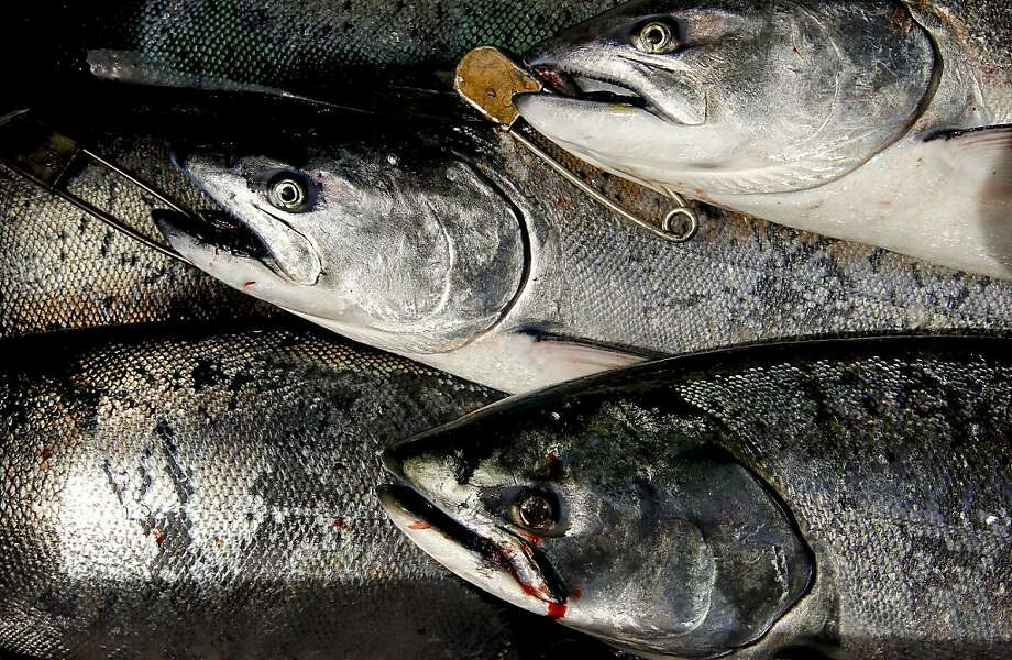 King salmon were abundant this year outside S.F. Bay. Photo: Michael Macor, The Chronicle
